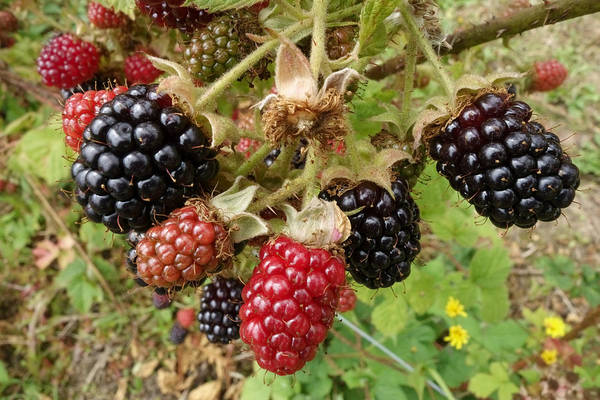 Wall Art - Photograph - Cultivated Blackberries by Nigel Cattlin