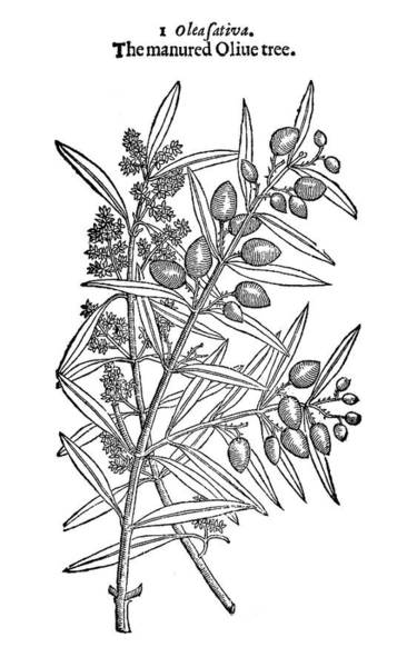 Olive Branch Drawing - Cultivated Olive Tree by Granger
