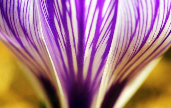 Photograph - Cup Of Stripes Crocus by Marilyn Hunt