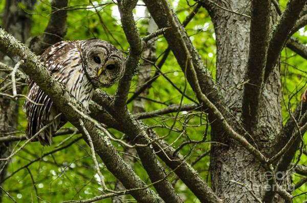 Photograph - Curious Barred Owl by Thomas R Fletcher