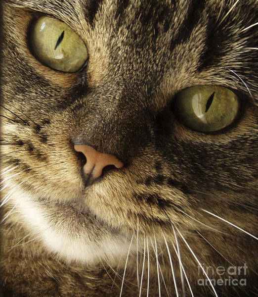 Kitties Photograph - Curious Cat by Diane Diederich
