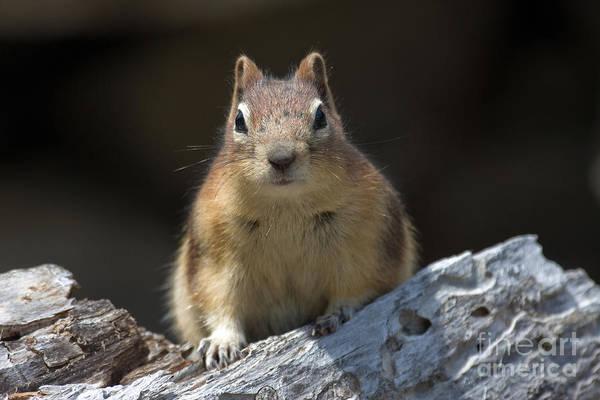 Photograph - Curious Chipmunk by Chris Scroggins