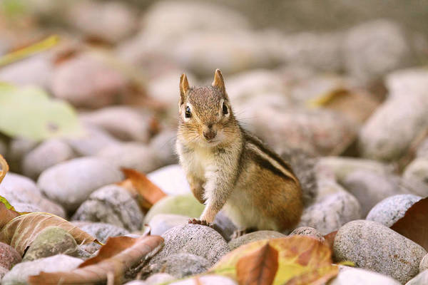 Photograph - Curious Chipmunk by Peggy Collins