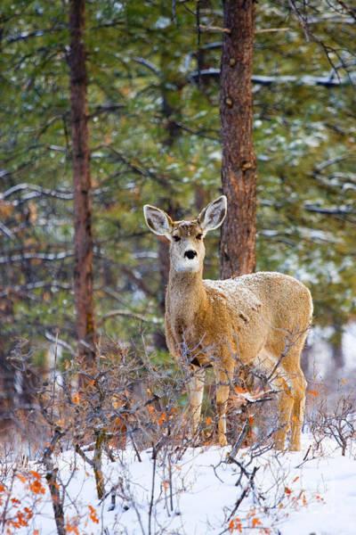 Photograph - Curious Doe In Snow by Steve Krull