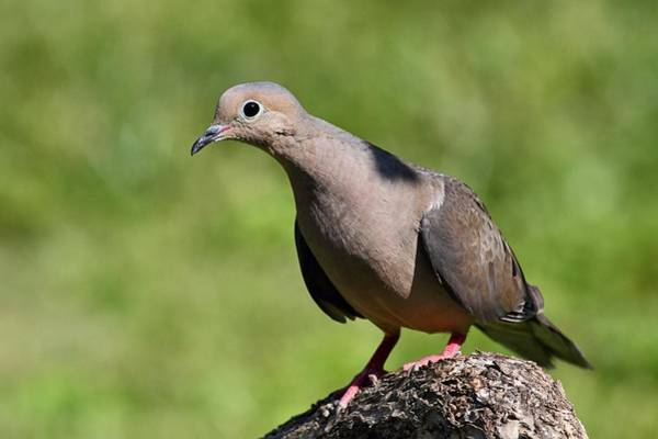 Photograph - Curious Dove by Mike Farslow