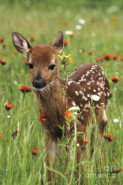 White Tailed Deer Photograph - Curious Fawn by Chris Scroggins