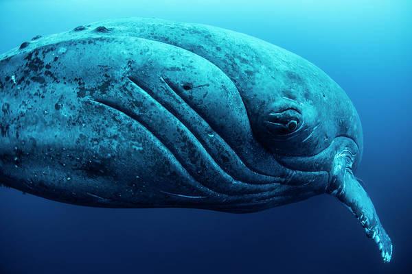 Wall Art - Photograph - Curious Female Humpback Whale, Closeup by Rodrigo Friscione
