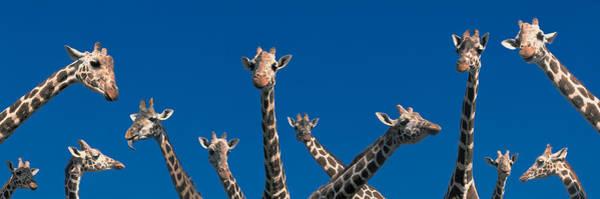 Long Neck Photograph - Curious Giraffes Concept Kenya Africa by Panoramic Images
