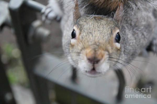 Grey Squirrel Photograph - Curious by Jasna Buncic