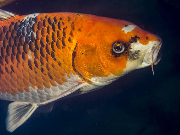 Ornamental Fish Photograph - Curious Koi by Jean Noren