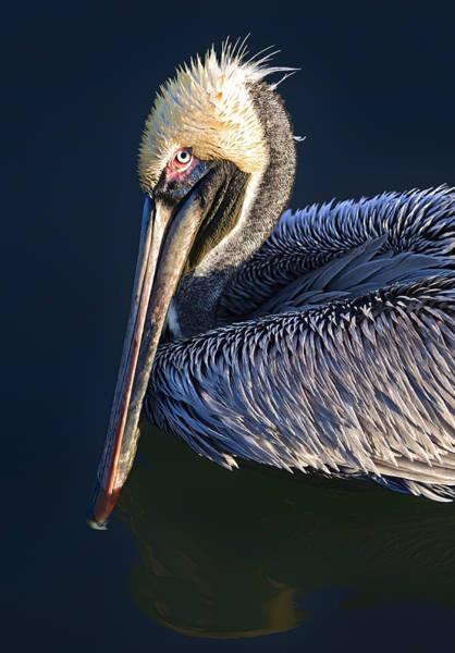 Photograph - Curious Pelican C by Patrick M Lynch