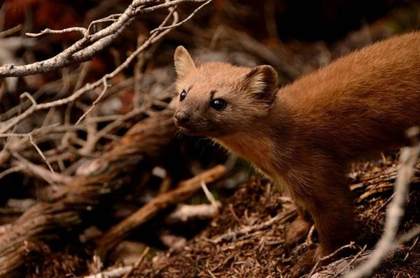 Photograph - Curious Pine Marten by Tranquil Light  Photography