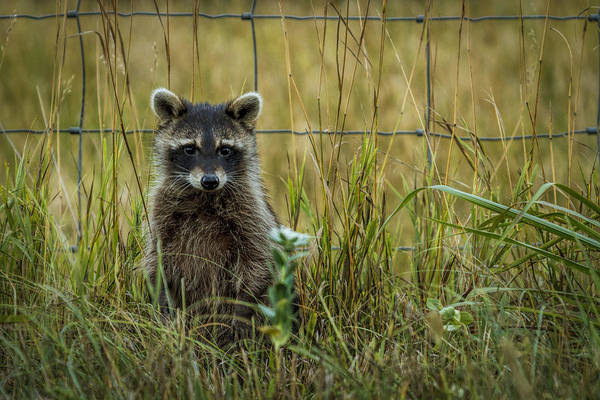 Raccoon Photograph - Curious Raccoon by Scott Bean