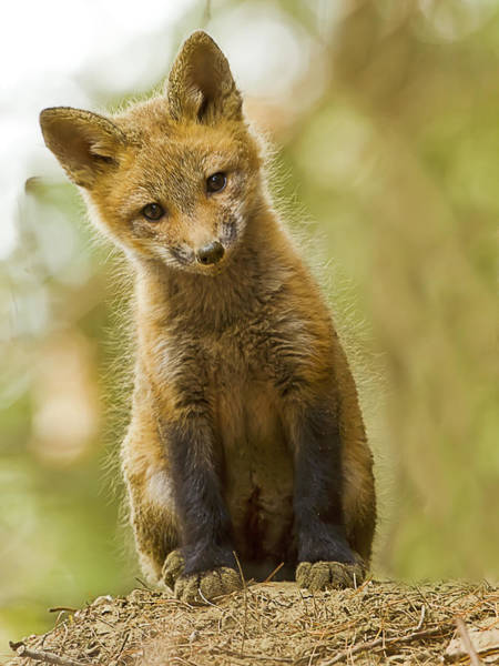 Photograph - Curious Red Fox Kit by John Vose