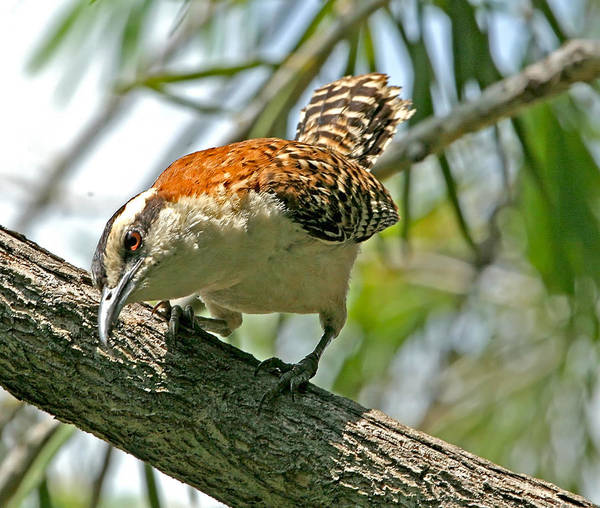 Photograph - Curious Rufous-naped Wren by Peggy Collins