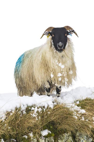 Ovine Photograph - Curious Sheep by David Taylor
