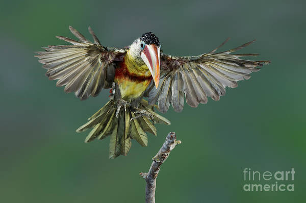Ramphastidae Photograph - Curl-crested Aracari About To Land by Anthony Mercieca