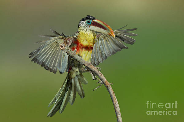 Ramphastidae Photograph - Curl-crested Aracari About To Perch by Anthony Mercieca