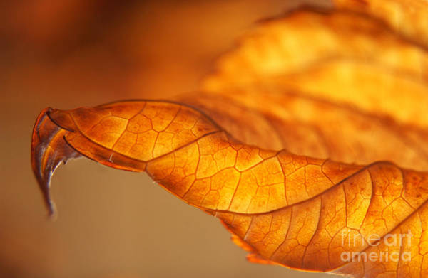 Wall Art - Photograph - Curled Backlit Hydrangea Leaf by Anna Lisa Yoder