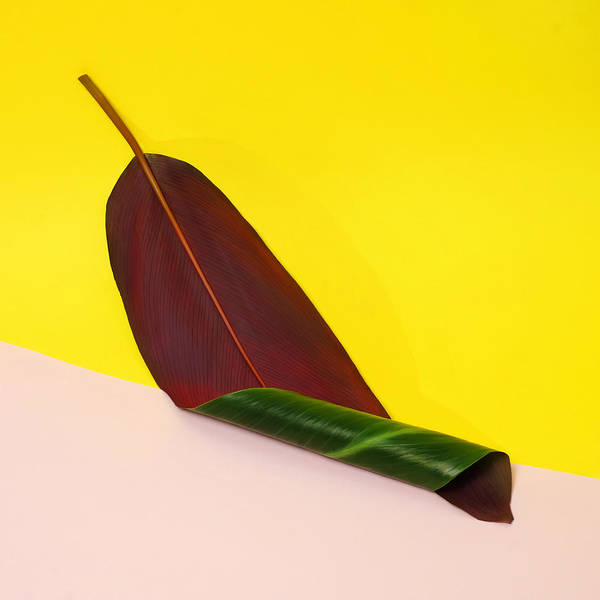 Yellow Banana Photograph - Curled Banana Leaf On Color Blocked by Juj Winn