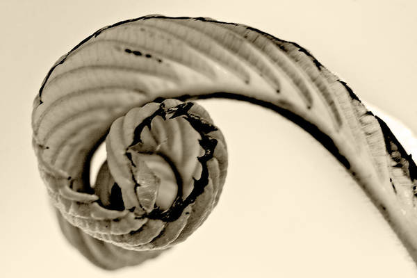 Photograph - Curled by Melinda Ledsome