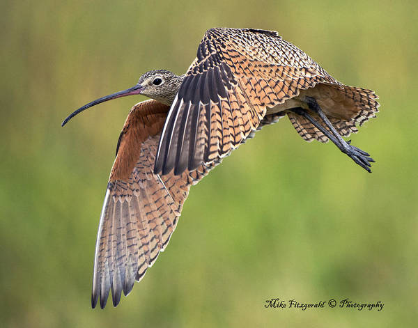 Photograph - Curlew In Flight by Mike Fitzgerald