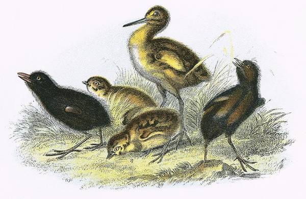 Ornithology Photograph - Curlew, Land Rail, Partridge And  Moor Hen Clockwise by English School