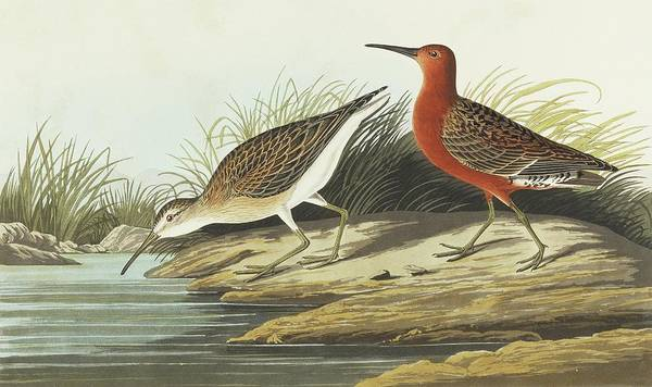 Aquatint Photograph - Curlew Sandpiper by Natural History Museum, London/science Photo Library