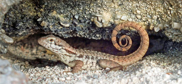 Photograph - Curly Tail Lizard In A Rock Hole by Duane McCullough