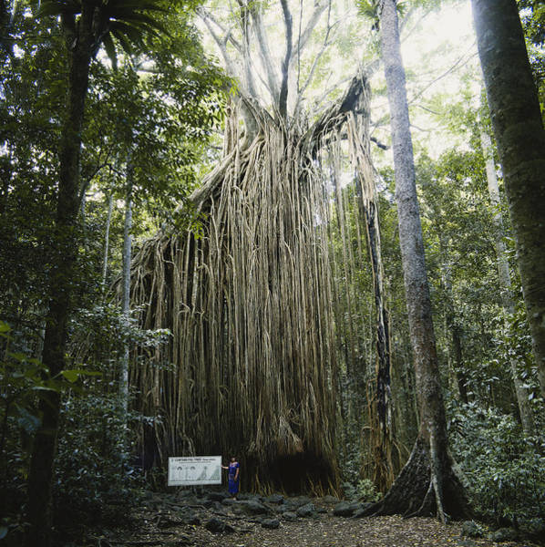 Atherton Tablelands Photograph - Curtain Fig by Phillip Hayson