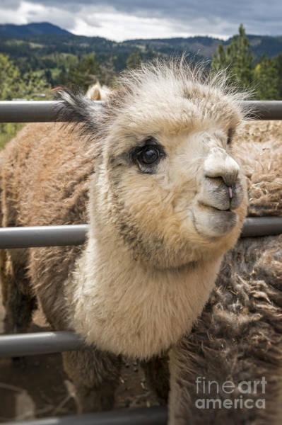 Photograph - Cute Alpaca  by Bryan Mullennix