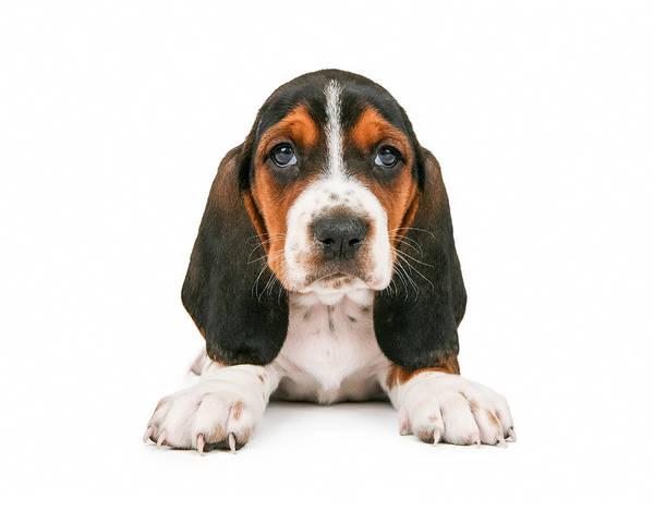 Basset Wall Art - Photograph - Cute Basset Hound Puppy Looking Forward by Susan Schmitz