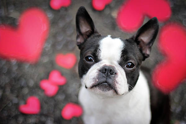 Bremen Wall Art - Photograph - Cute Boston Terrier Puppy Surrounded By by Tereza Jancikova