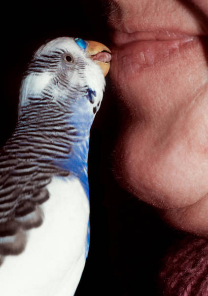 Photograph - Cute Budgie Kissing Lips by Matthias Hauser
