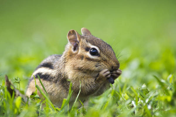 Photograph - Cute Chipmunk by Christina Rollo