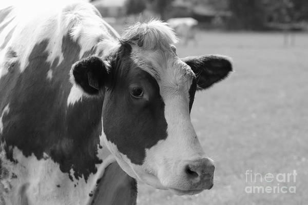 Photograph - Cute Cow - Black And White by Carol Groenen
