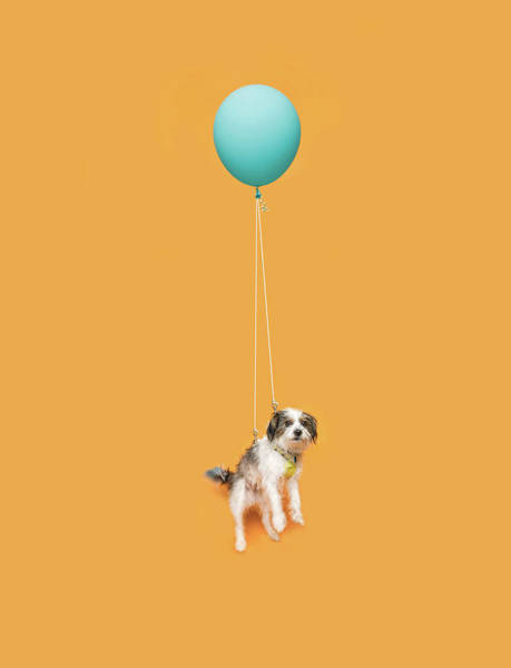 Cute Photograph - Cute Dog Floating With A Balloon by Ian Ross Pettigrew