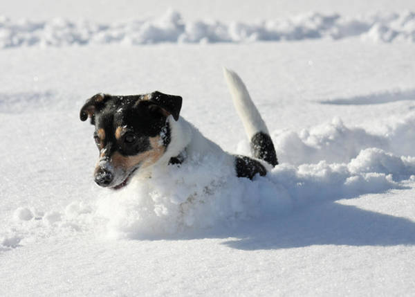 Photograph - Cute Dog Jumping In Snow by Dreamland Media