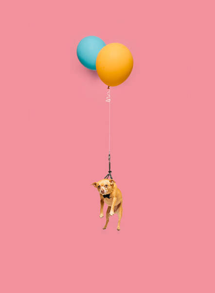 Cute Photograph - Cute Dog Tied To A Balloon And Floating by Ian Ross Pettigrew