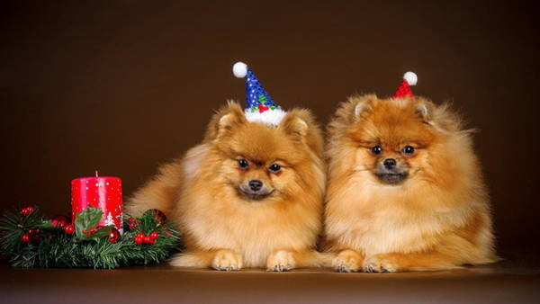 Photograph - Cute Christmas Dogs  by Doc Braham