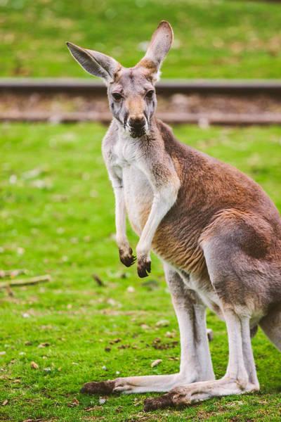 Skippy Wall Art - Photograph - Cute Kangaroo Portrait by Pati Photography