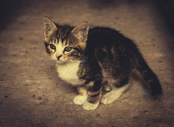 Wall Art - Photograph - Cute Kitten by Pati Photography