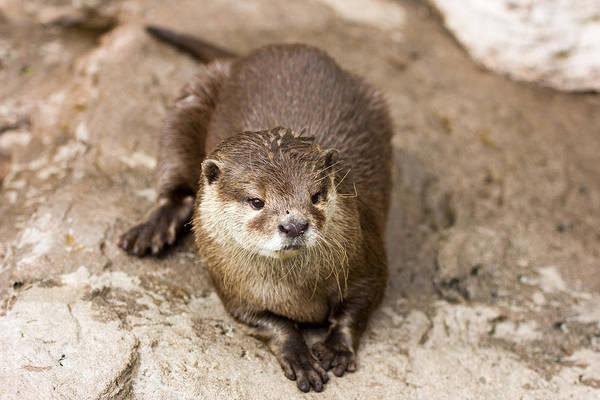 Aonyx Cinerea Photograph - Cute Otter Portrait by Pati Photography