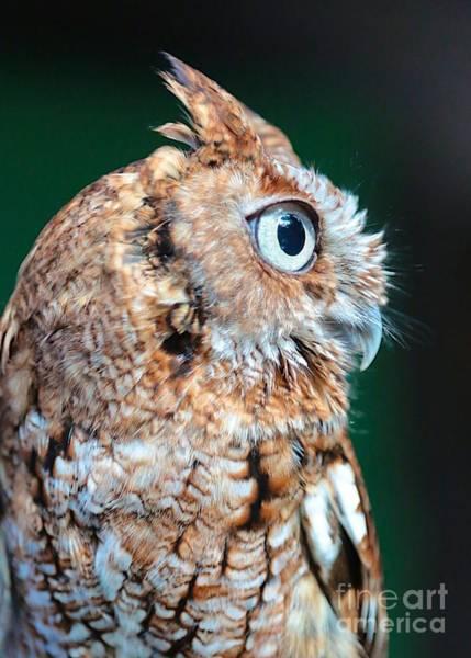 Screech Owl Photograph - Cute Owl Profile by Carol Groenen