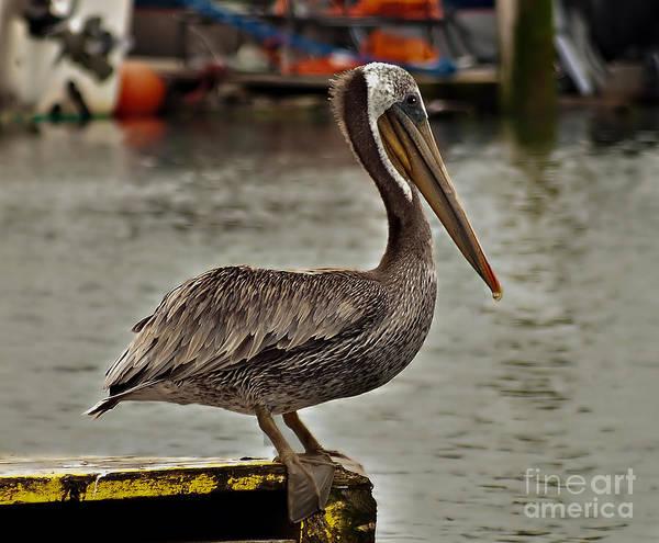 Gular Photograph - Cute Pelican by Robert Bales
