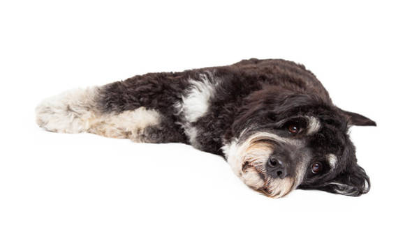 Crossbreed Wall Art - Photograph - Cute Poodle Mix Breed Dog Laying Down by Susan Schmitz