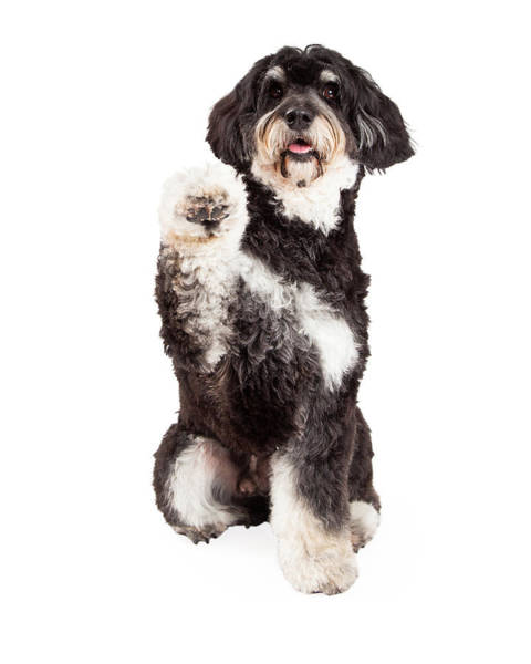 Crossbreed Wall Art - Photograph - Cute Poodle Mix Breed Dog Shaking Paw by Susan Schmitz