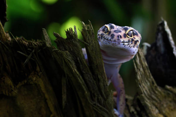 Lizard Photograph - Cute Smile by Fauzan Maududdin