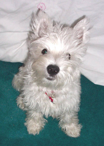 Photograph - Cute Westie Puppy by Charmaine Zoe