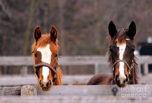 Photograph - Cute Yearlings by Janice Byer